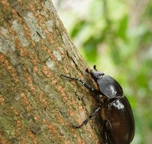 Rhino beetle on tree